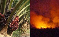 Herdsmen Set 150-Acre Palm Plantation Ablaze...