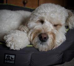 Worn out!  Good night #doods  #sleepydog #flufffeatures #minidoodle #minigoldendoodle #minigoldendoodlesofinstagram #fluffydog #doodledog #doodleselfie #goldendoodlesofinsta #meowvswoof #lacyandpaws #ilovemydog #mydogiscutest #goldendoodle #sendadogphoto #dailyfluff #doodleoftheday #doodlesofinstagram #dogsofig #dogsofficialdog #dogstagram by zivadoodle