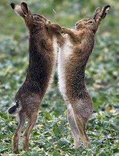 young hooligans -- swearing, chewing tobacco and always picking fights * Hares boxing