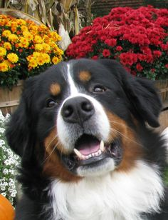 Bernese Mountain Dog - beautiful