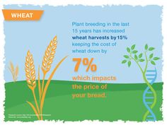 Plant breeding in the last 15 years has increased wheat harvest by 15%.