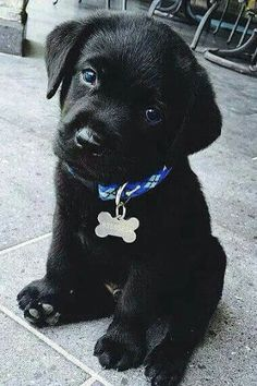 Mind Blowing Facts About Labrador Retrievers And Ideas. Amazing Facts About Labrador Retrievers And Ideas. Black Lab Puppies, Cute Dogs And Puppies, I Love Dogs, Puppy Love, Doggies, Adorable Puppies, Black Puppy, Cute Animals Puppies, Funny Puppies