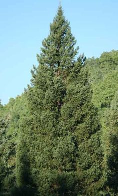 If you guessed this 73' Englemann spruce was the 2012 US Capitol Christmas Tree, you were right!