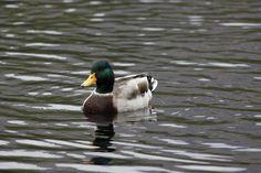Mallard (Male) Windermere, Lakes, UK