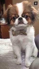 Japanese Chin Puppy looking fresh Japanese Chin Puppies, Japanese Dogs, Cute Puppies, Cute Dogs, Chien Shih Tzu, Baby Chihuahua, Chinese Crested Dog, Dog Eyes, Pekingese