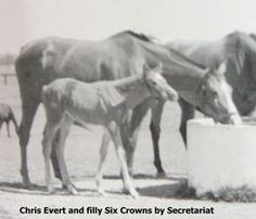 """Six Crowns, chestnut daughter of Secretariat. She had 15 starts, 5 wins, 3 places, 5 shows. Won the Meadow Queen Stakes. Six Crowns is listed as a Reine de Course mare, a coveted designation meaning """"Queens of the Turf"""", of influential female families that influence the breed.  Six Crowns added to her sire Secretariat's legacy as a broodmare sire by becoming dam of Eclipse and Breeders' Cup champion Chief's Crown and Classic Crown and becoming matriarch of her son Chief's Crown's…"""