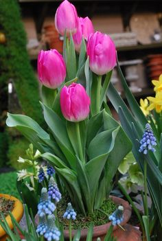 spring flowering bulbs in containers Daffodil Bulbs, Bulb Flowers, Tulips Flowers, Spring Flowers, Flower Pots, Potted Flowers, Container Flowers, Container Plants, Container Gardening