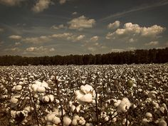 King Cotton | Flickr - Photo Sharing!