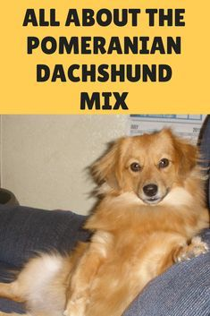 All About The Pomeranian Dachshund Mix The Dameranian Pomeranian Dachshund Dameranian Dachshund Mix Dachshund Save A Dog