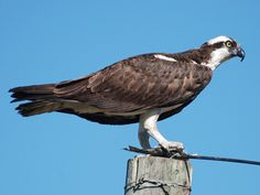 Osprey Adult: Large and lanky raptor. Long wings mostly dark brown.White crown and throat with dark stripe through yellow eye. Sharply hooked black bill© Ron Kube, Alberta, Canada, September 2009