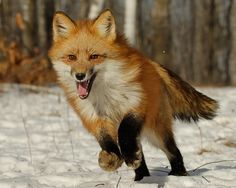 Red Fox Reference Photos.