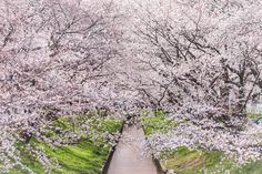 Sakura River! -- It is lined with over 1000 cherry blossoms. Talk about cherry blossom overload! // By David LaSpina of JapanDave.com