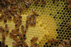 life cycle of a worker bee - Google Search