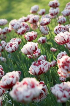 Double Late Tulip 'Carnaval De Nice' White petals with scarlet red stripes and flames. On sunny days petals relax to reveal a lemon yellow center.