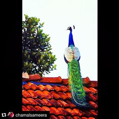 Amazing capture of a beautiful Peacock with its colourful feathered tail Repost of photo by @chamalsameera with #stockphotolk  Sign up on www.stockphoto.lk and convert your creativity into revenue! .   #matara #peafwol #ChamalSameeraGoonawardenaPhotography #monara #peacock #feathers #coloursofnature #colours #srilanka #nationalpark #beautyofnature #beautyofanimals .  #nature #natureconnection #nationalpark #lka #instapic #instagood #instalike #instadaily #instaphoto #instafollow…