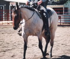 All about the American Quarter Horse. Image: Red Roan Quarter Horse Showing In Western Pleasure