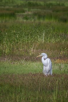 Egret in a Field by Belinda Greb #birds #greategret #birdphotography #artforsale