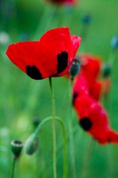 Lady Bird Poppies