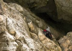 Birding stories: birdwatching and photography trips: Wallcreeper photography in Bulgaria