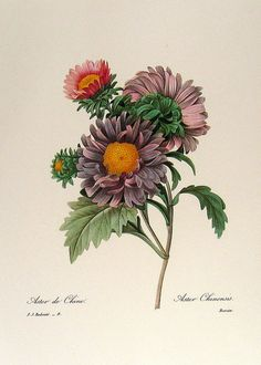 Redoute Art Flowers, Fruits | Flickr - Photo Sharing! ~ Aster Chinensis