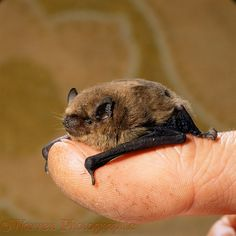 Photograph of Pipistrelle Bat (Pipistrellus pipistrellus) rescue preparing to be fed. Rights managed image. Bat Photos, Bat Species, Cute Bat, British Wildlife, Animal Habitats, Cute Animal Pictures, Pet Birds, Mammals, Fur Babies