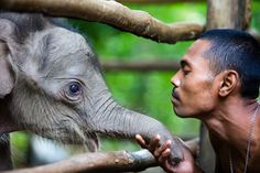 A ranger inspects a 10-day-old baby elephant at Sarah Deu conservation response unit in Sampoiniet, Aceh Jaya, Indonesia on September 27, 2012. There are fewer than 3,000 Sumatran elephants remaining in the wild, a 50 percent drop since 1985. (Chaideer Mahyuddin/AFP/GettyImages). boston.com #Elephant #Indonesia #Chaideer_Mahyuddin