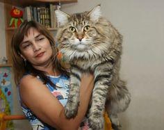Подборка фотографий кошек породы мейн-кун, которые убедят вас, что ваша кошка просто карлик!