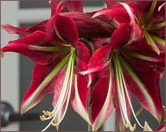 Ruby Star Amaryllis, 20-24 inches tall $11 ea.. really looked good. Very late.
