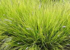 Sesleria autumnalis, autumn moor grass Silvery grey to white flowers in June to October, and a lovely pale green leaf colour Ornamental Plants, Foliage Plants, Prairie Garden, Border Plants, Planting Plan, Growing Gardens, Plants Are Friends, Variegated Plants, Outdoor Planters