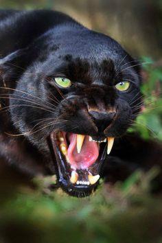 Black Panther [x]