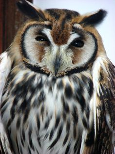Striped owl - This beautifully marked species can be found in Central and South America, but because it is nocturnal and not easily spotted, its exact distribution is not known. What is known, however, is its range is huge and it can be found from marshlands to savannahs to woodlands.