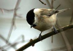 Glanskop van vroegevogels