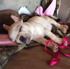 French Bulldog After New Years