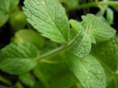 Apple Mint Uses: Information And Tips For Growing Apple Mint Plants..aggressive.. needs to be contained but makes a very nice and soothing tea.