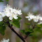 Small flowering trees are lovely focal points in the landscape. They can be planted fairly close to buildings (10 feet) and look especially nice by outdoor living areas.