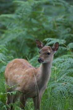 Georgie Johnson | Young deer