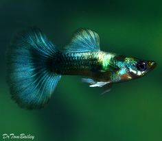 gorgeous guppies | Metallic Blue Male Guppy for sale