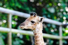 New baby giraffe at Wildlife Reserves Singapore.