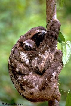 Brown-throated Three-toed Sloth with young. (Bradypus tridactylus marmoratus)