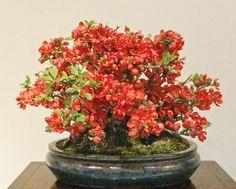 Japanese flowering quince, Chaenomeles speciosa