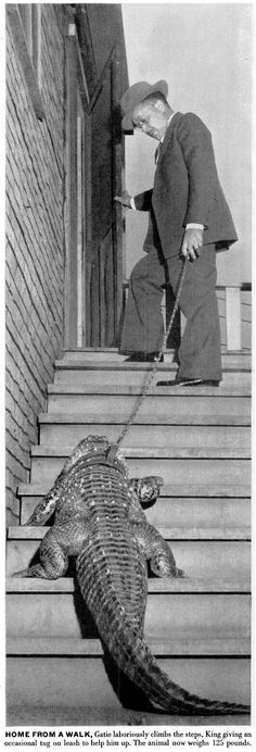 Gatie the alligator, 1948.  1 - After a bath, Gatie the Chicago Alligator braces himself on his hind legs as his master rubs his scaly skin dry beside the living room stove