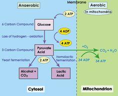 SparkNotes: Glycolysis: Anaerobic vs. Aerobic Respiration