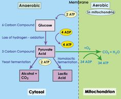 SparkNotes: Glycolysis: Anaerobic vs. Aerobic Respiration