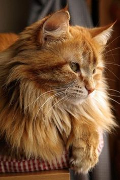 norwegian forest cat orange Cats And Kittens Mancoon Cats, Cute Cats And Kittens, Kittens Cutest, Chat Maine Coon, Maine Coon Kittens, Orange Cats, White Cats, Pretty Cats, Beautiful Cats
