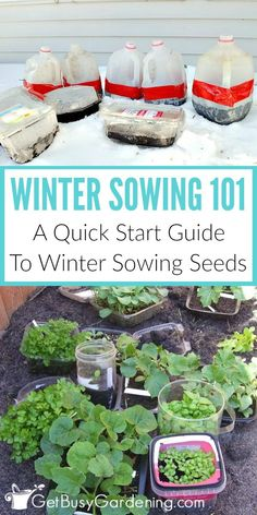 Winter sowing is a fun and easy way of planting seeds outdoors in winter. Seeds are planted in miniature greenhouses made from recycled plastic containers (like milk jugs!), and then put outside in the snow and freezing cold. The seeds will naturally germ