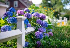 to Get More Hydrangea Flowers Add elegance, charm, and nostalgia to any garden with these gorgeous flowering shrubs.Add elegance, charm, and nostalgia to any garden with these gorgeous flowering shrubs. Types Of Hydrangeas, Hydrangea Varieties, Types Of Flowers, Pruning Hydrangeas, Spring Flowering Bulbs, Flowering Shrubs, Garden Shrubs, Garden Plants, Planter Hortensia