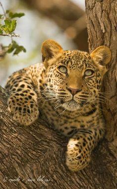 Foto: Show interest Grandes felinos Incluye a las cuatro especies de felino en el género Panthera: el león (Panthera leo), tigre *(Panthera tigris), leopardo (Panthera pardus) y el jaguar (Panthera onca). Los miembros de este género son los únicos capaces de rugir, y esto se considera como un elemento característico de los grandes felinos. Todos los felinos son eficientes depredadores carnívoros. Su rango de distribución incluye América, África, Asia y Europa. Sólo Oceania y la Antártida no…
