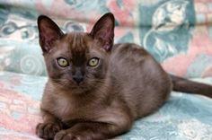 Imgs For > Sable Burmese Kittens