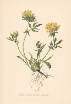 1954 Kidney Vetch Antique Botanical Print Vintage by Craftissimo, €12.95