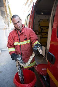 Maritima.Info : Société, Marseille : Marseille. Les marins-pompiers capturent un boa